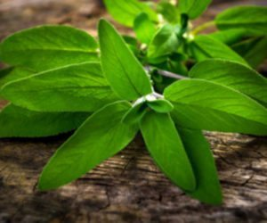 Salvia: The Diviner's Sage